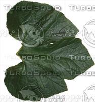 Pumpkin/Squash leaf