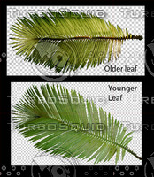 Cycad Leaves Large