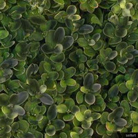 Texture-Boxwood-In 00123se