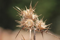 Flowers_Thistle_0001