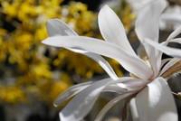 Flowers_Magnolia_0002