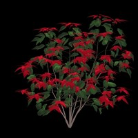 Poinsettia A - Euphorbia pulcherrima