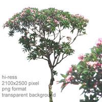 pink frangipani tree