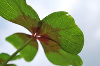 Four-leaf Clover_0002