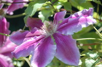 Flowers_Clematis_0001