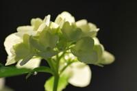Flowers_Hortensia_0003