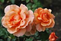 Flowers_Rose_0002