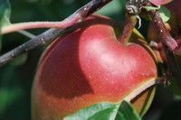 Fruit_Apple_0005