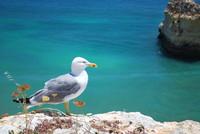 Bird_Seagull_0001