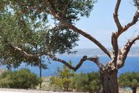 Olive Tree_Crete_0001