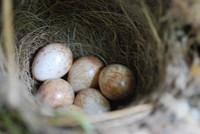 Bird_Robins Nest_0003