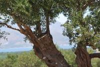 Olive Tree_Crete_0002