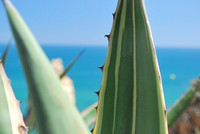 Plant_Aloe Vera