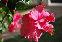 Flowers_Hybiscus_0001