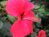 Flowers_Hybiscus_0002