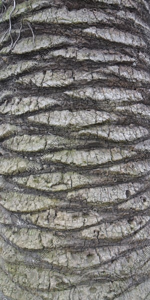 Texture Other Bark Palm Tree