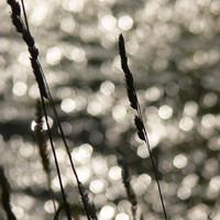 Sunset Reeds 2
