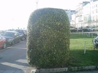 hedge side