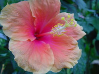 Flowers_Hybiscus_0003