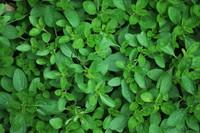Herbs_Origano