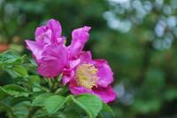 Flowers_Wild Rose
