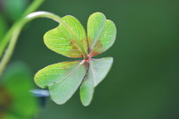 Four-leaf Clover_0004