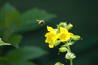 Insect_Honey Bee