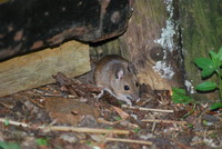Animal_Mouse_0001