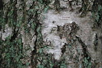 Bark_Texture Pack_0004