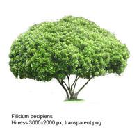 Felicium decepiens tree