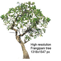 frangipani tree large trunk