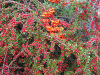 red berries1