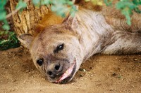 Wildlife_Hyena