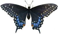 Butterfly 1 Spicebush Swallowtail