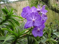 Flowers_Orchid_0001