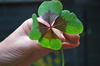 Four-leaf Clover_0003