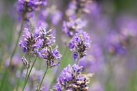 Flowers_Lavender_0004