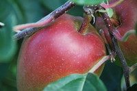 Fruit_Apple_0004