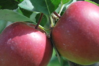 Fruit_Apple_0002