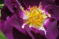Flowers_Rose_0003