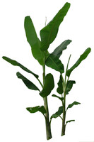 Musa spp_banana tree