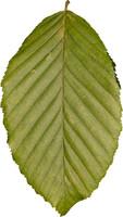 leaf16