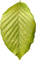 leaf17