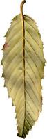 leaf27