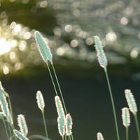 Blurred Reeds 1