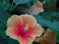 Flowers_Hybiscus_0004