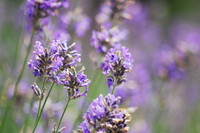 Flowers_Lavender_0001