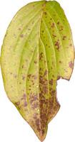 leaf24