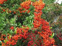 red berries2
