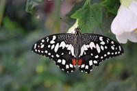 Butterfly_0009